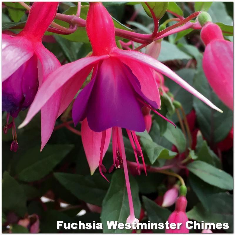 Fuchsia Westminster Chimes G-9