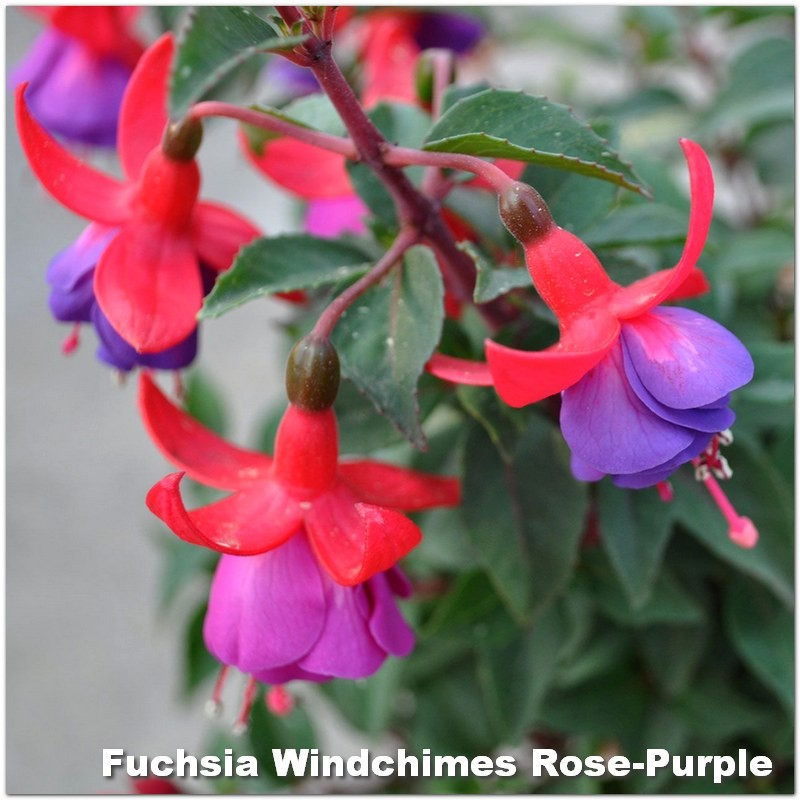 Fuchsia Windchimes Rose-Purple G-9