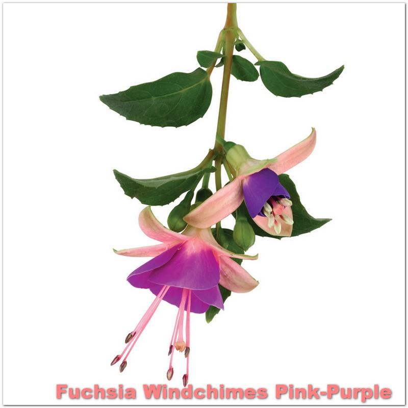 Fuchsia Windchimes Pink-Purple G-9