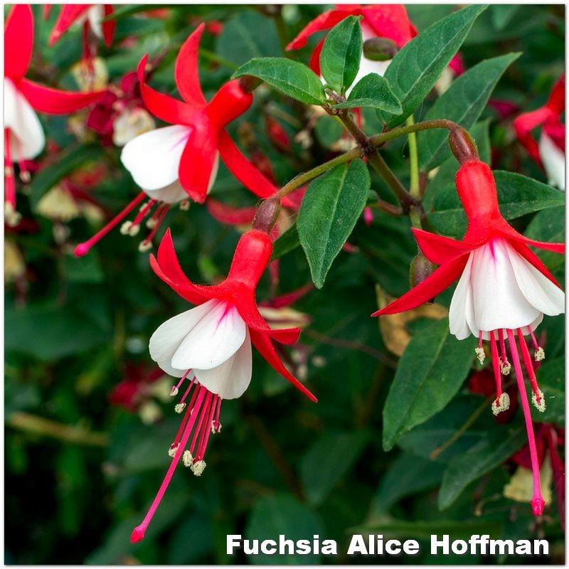Fuchsia Alice Hoffman G-9