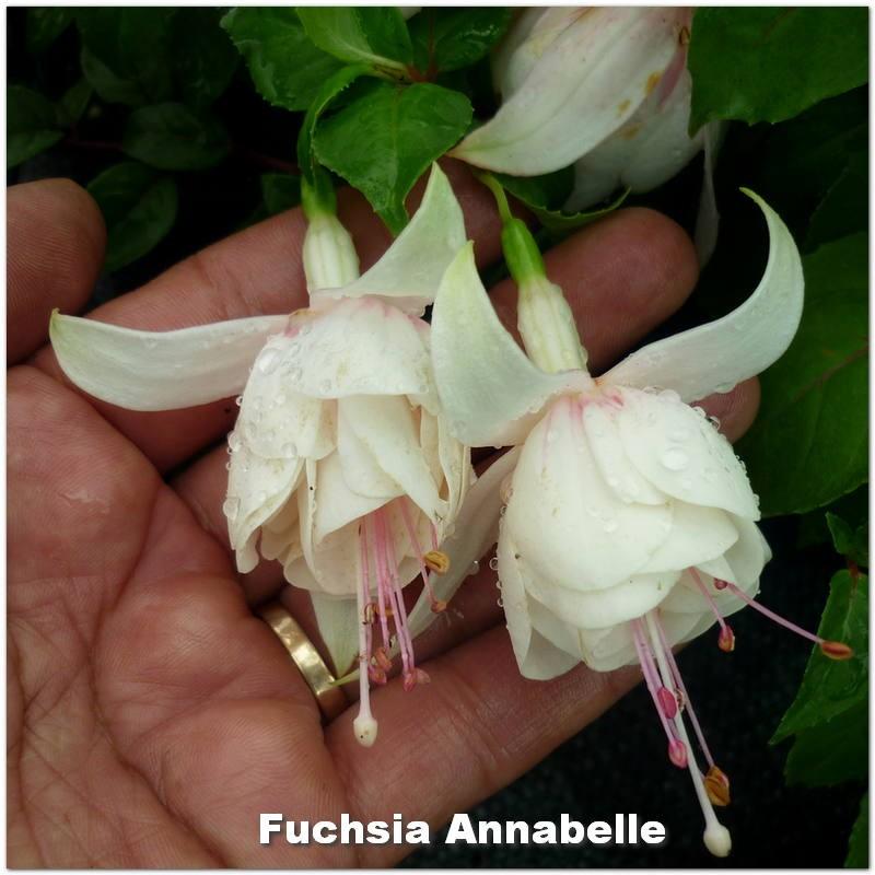 Fuchsia Annabelle G-9