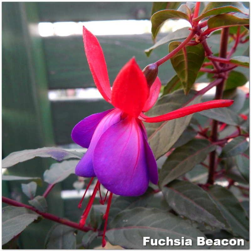Fuchsia Beacon G-9