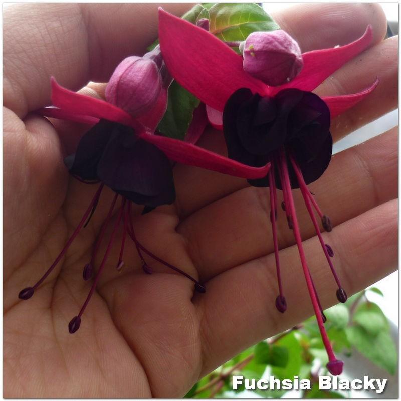 Fuchsia Blacky G-9
