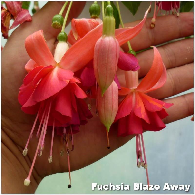 Fuchsia Blaze Away G-9