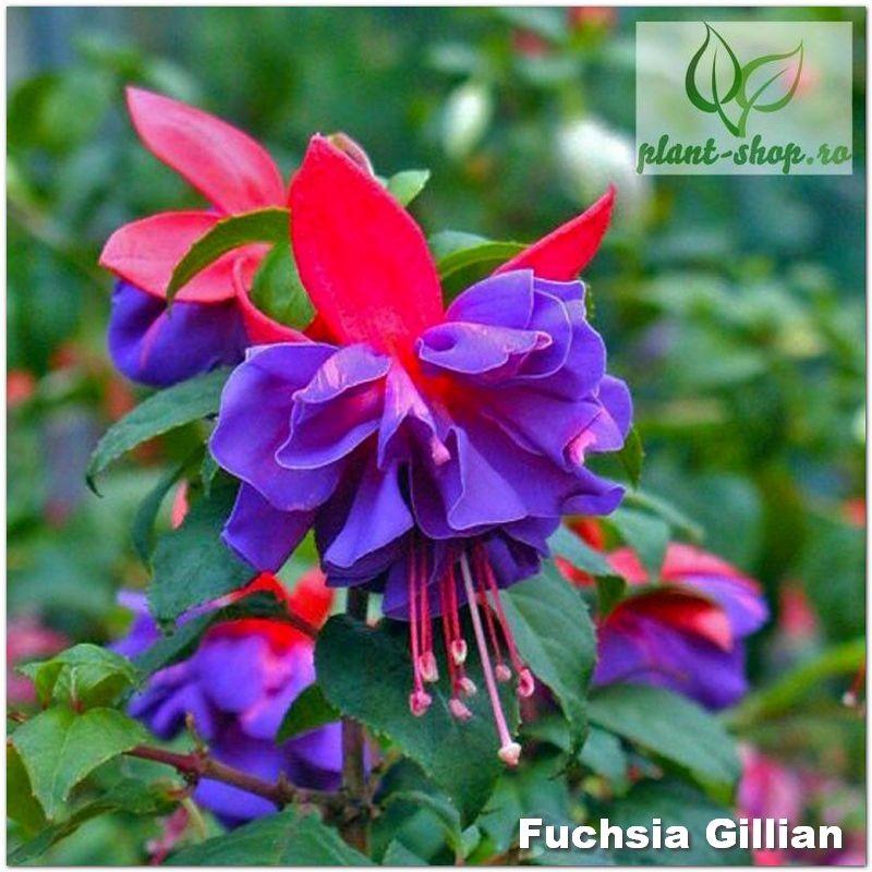 Fuchsia Gillian G-9