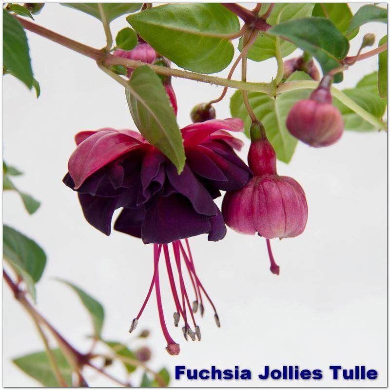 Fuchsia Jollies Tulle G-9