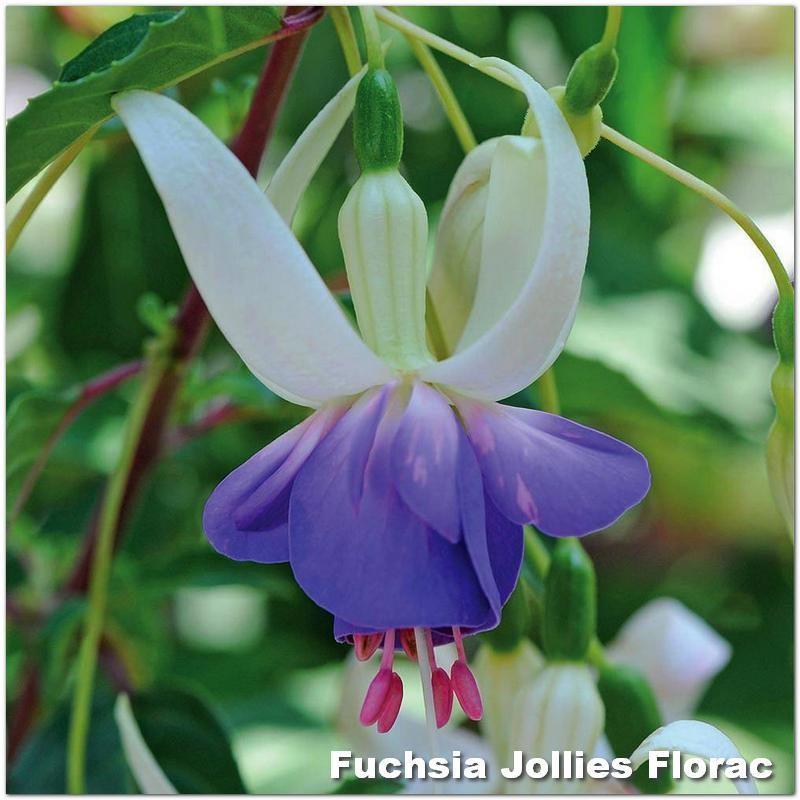 Fuchsia Jollies Florac G-9