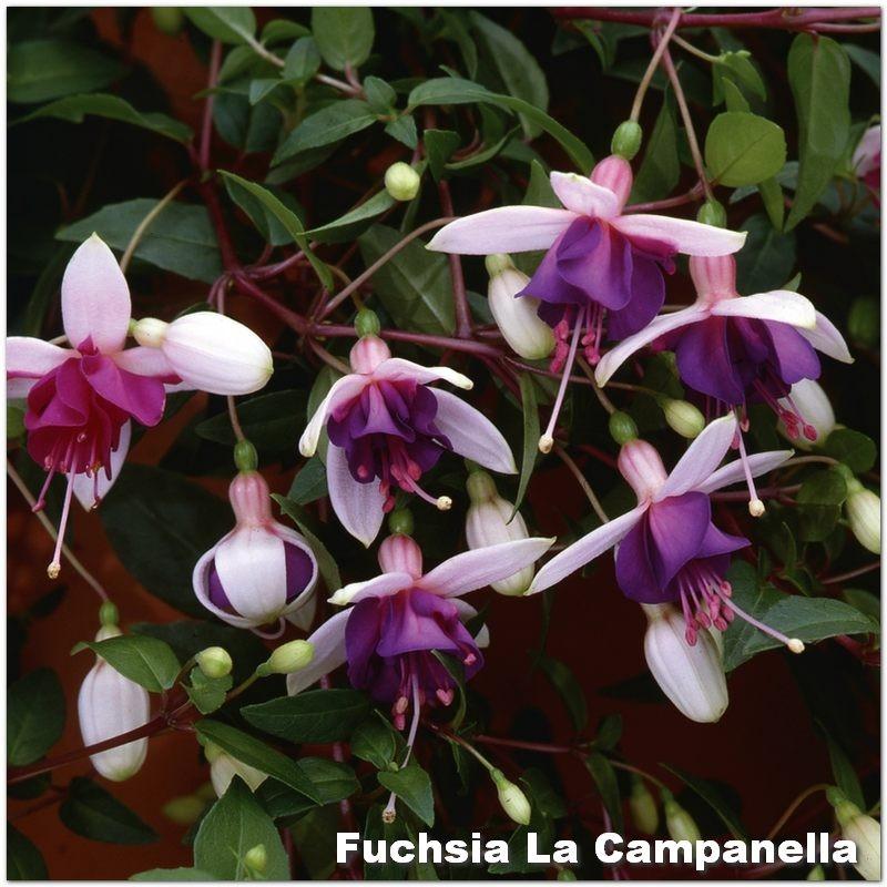 Fuchsia La Campanella G-9