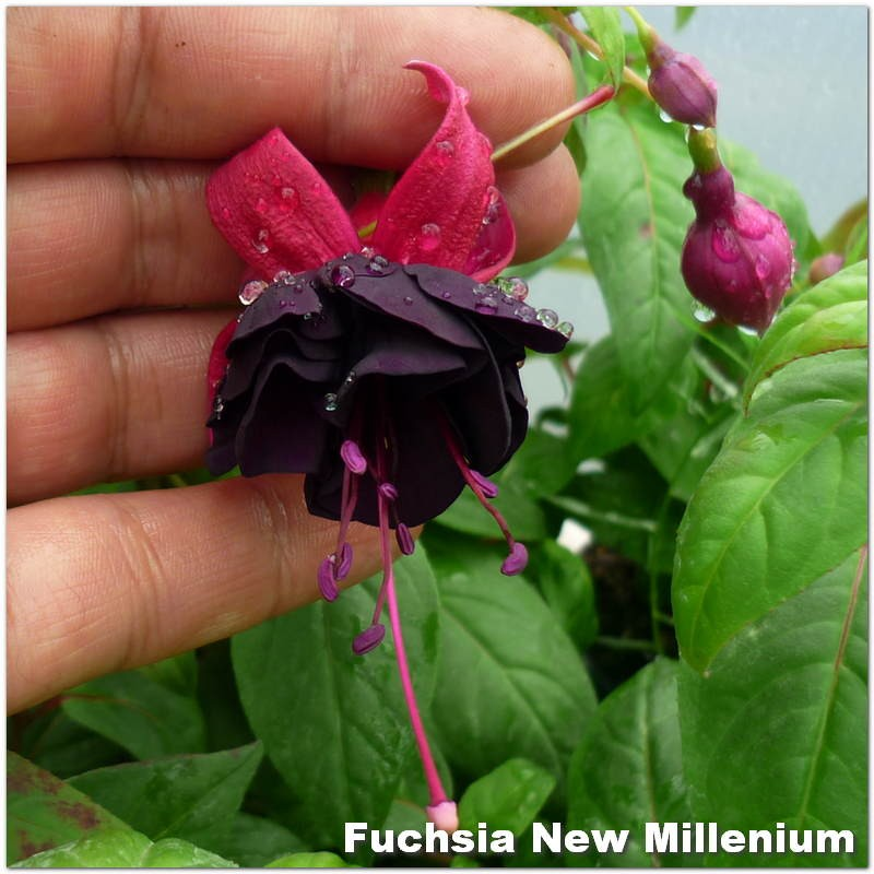 Fuchsia New Millennium G-9