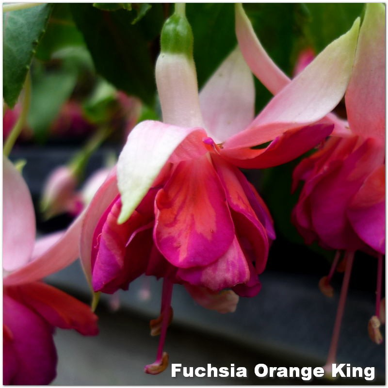 Fuchsia Orange King G-9