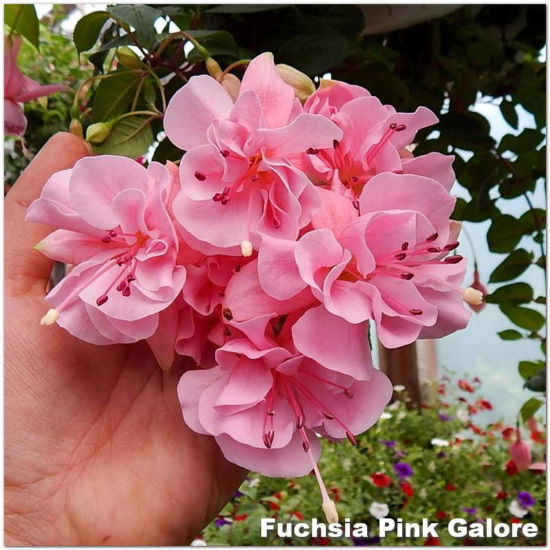 Fuchsia Pink Galore G-9