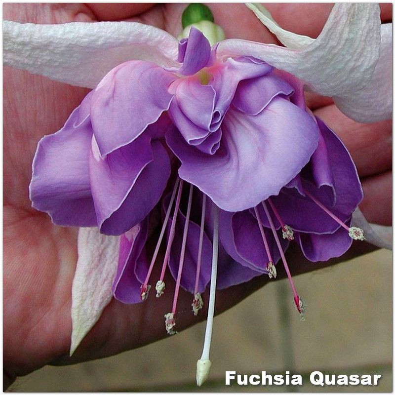 Fuchsia Quasar G-9