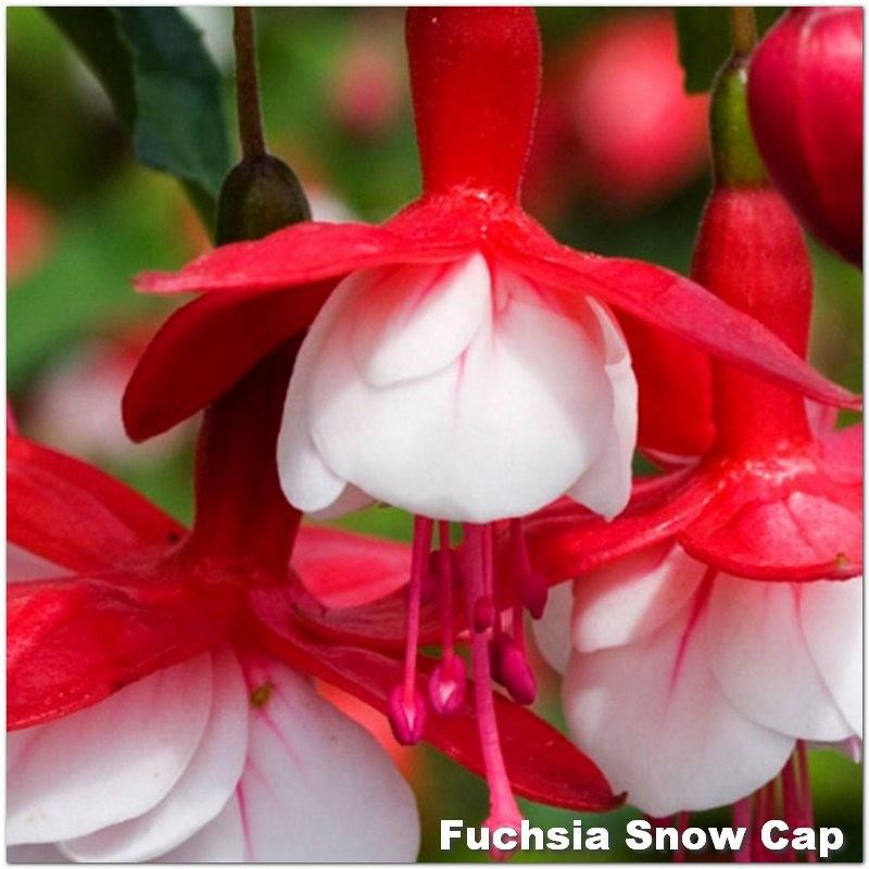 Fuchsia Snow Cap
