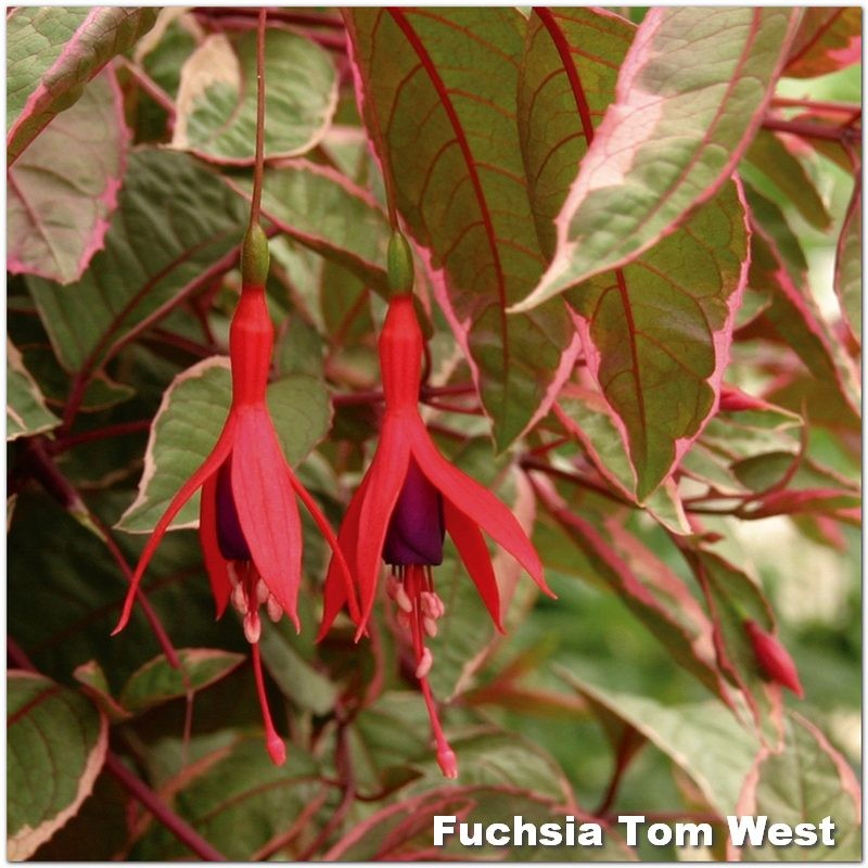 Fuchsia Tom West G-9