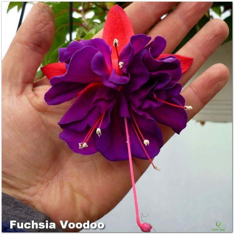 Fuchsia Voodoo G-9