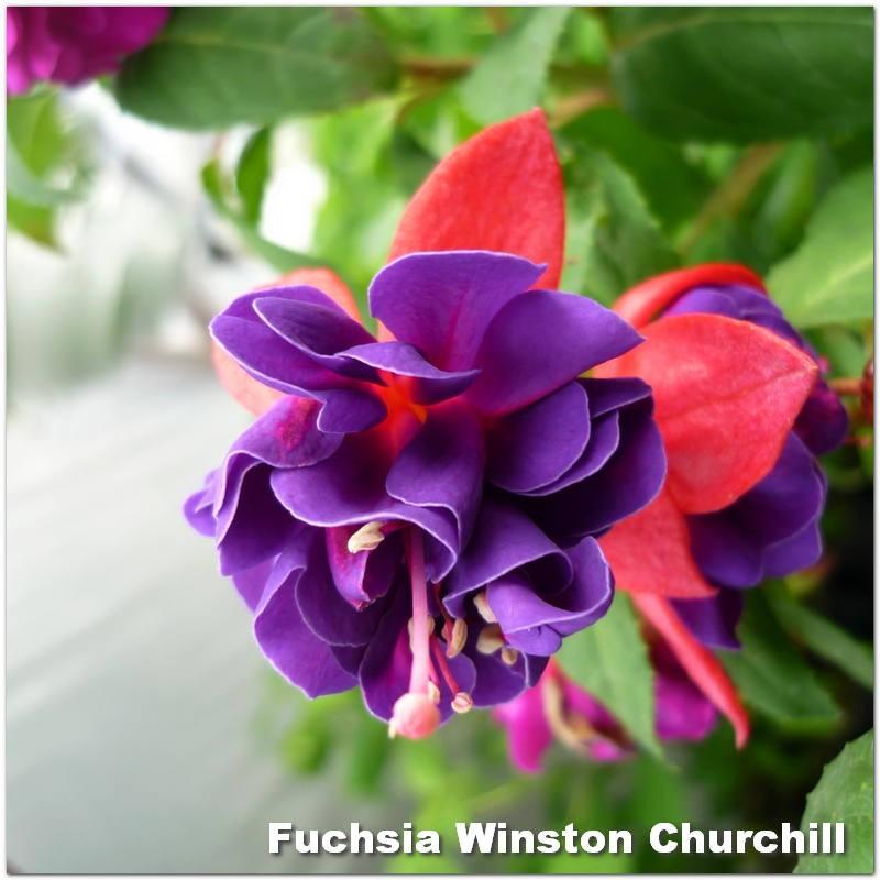 Fuchsia Winston Churchill G-9