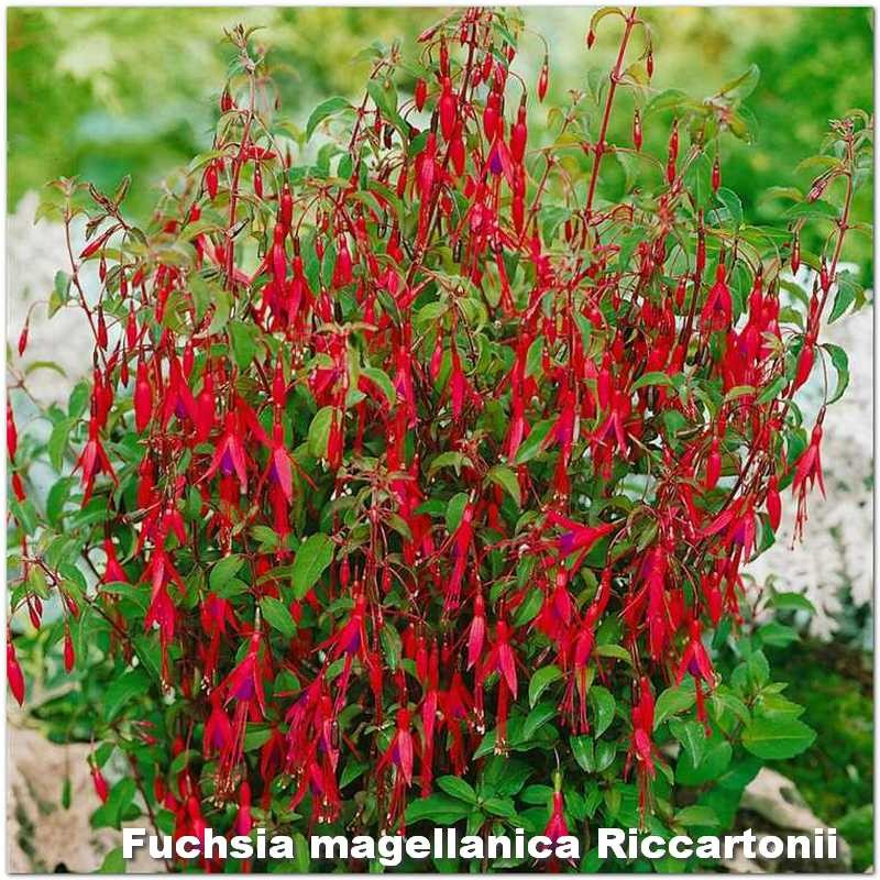Fuchsia magellanica Riccartonii G-9