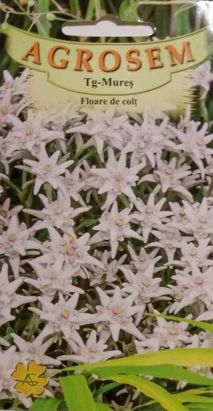 Seminte de Floare de colti - AS - Leontopodium alpinum