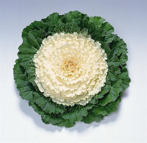 """Varză decorativă """"Brassica oleracea Attraction F1 White"""""""