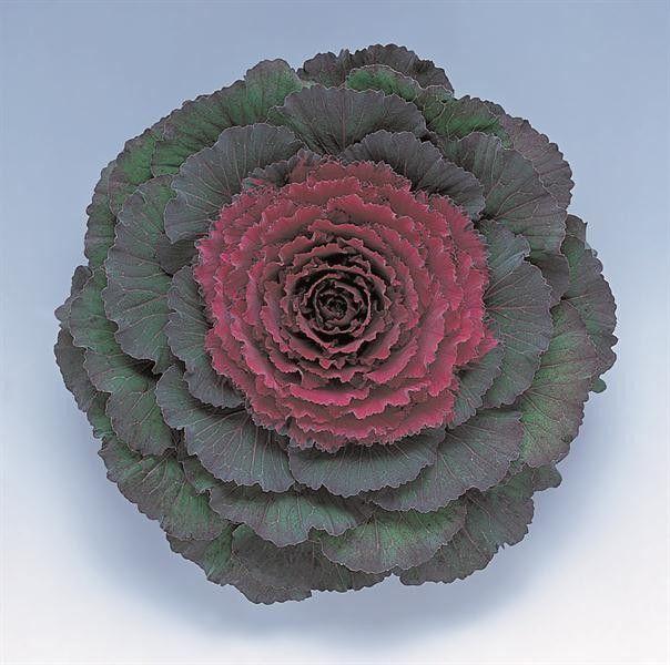"""Varză decorativă """"Brassica oleracea Attraction F1 Purple"""""""