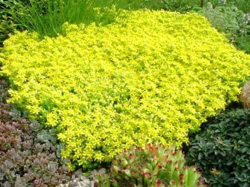 Sedum acre 'Aurea' Pack 10 plante
