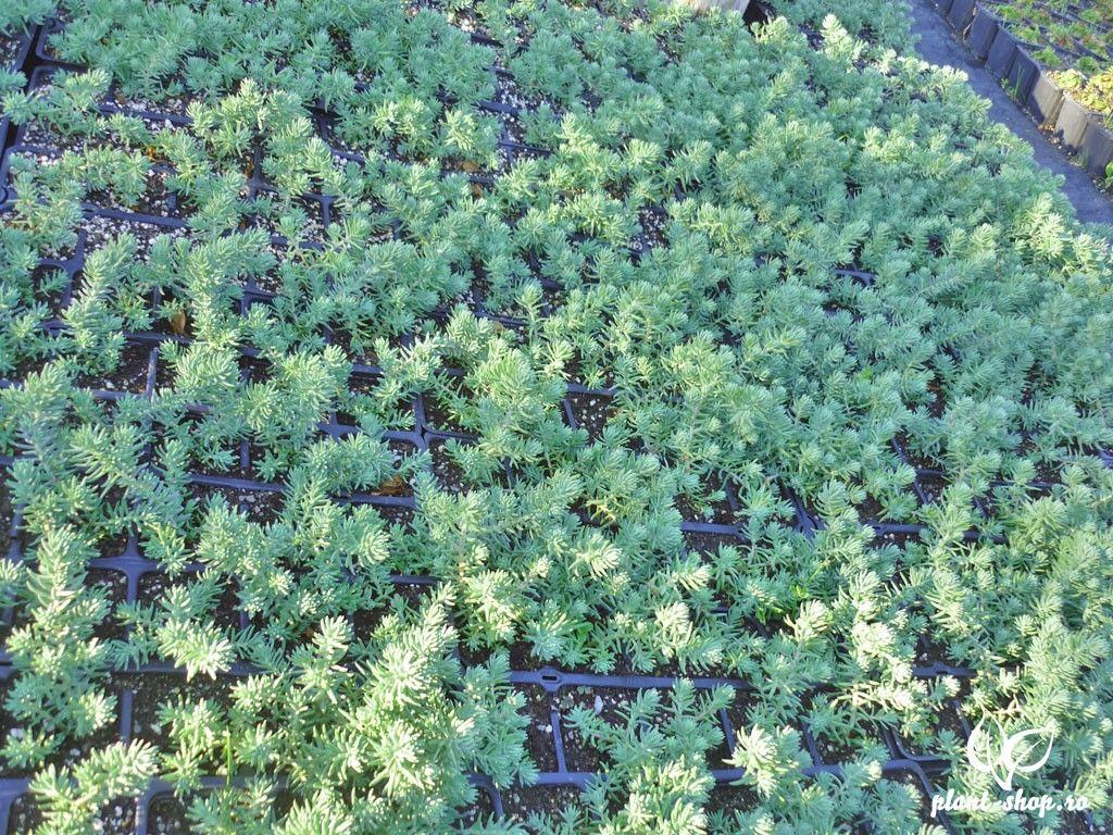 Sedum rupestre 'Blue Spruce' Pack 10 plante