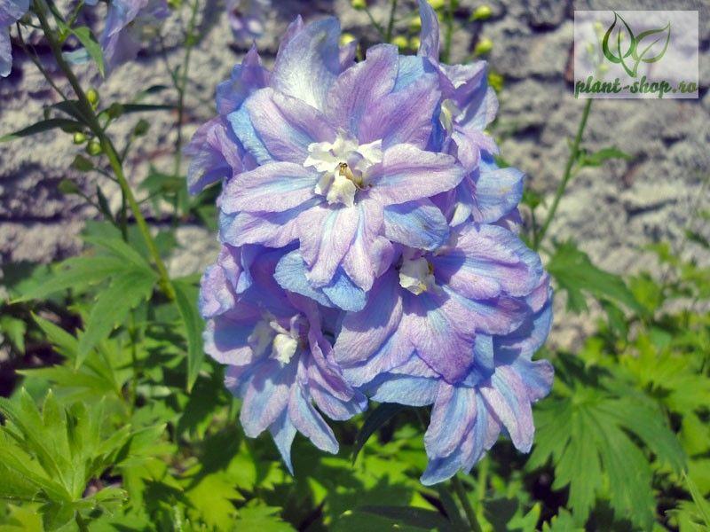 Delphinium x cultorum Guardian F1 Lavender G-9
