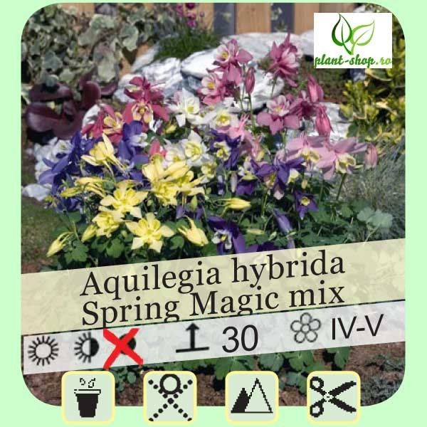 Aquilegia Spring Magic mix G-9