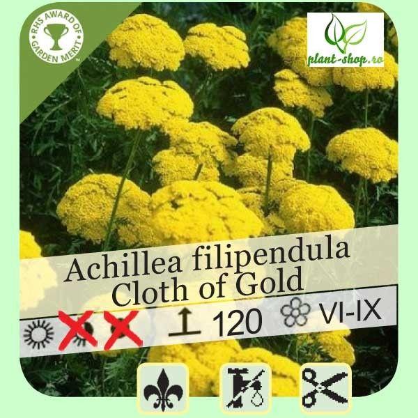 Achillea filipendula Cloth of Gold G-9