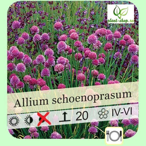 Allium schoenoprasum G-9