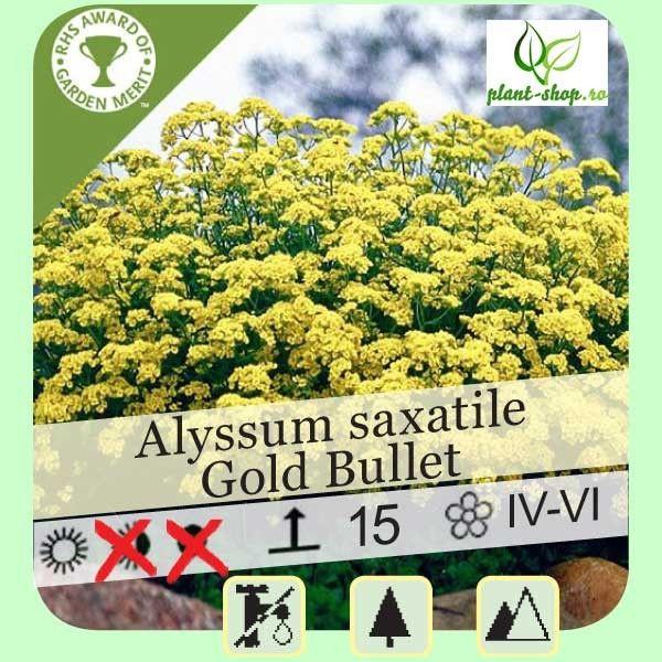 """Alyssum saxatile compactum """"Gold Bullet"""""""