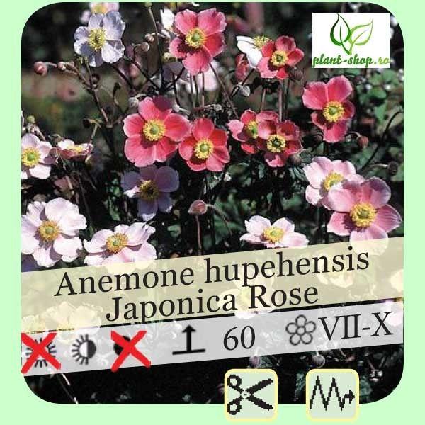 Anemone hupehensis var. japonica G-9