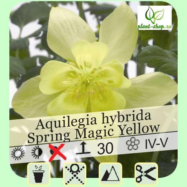 Aquilegia Spring Magic yellow G-9