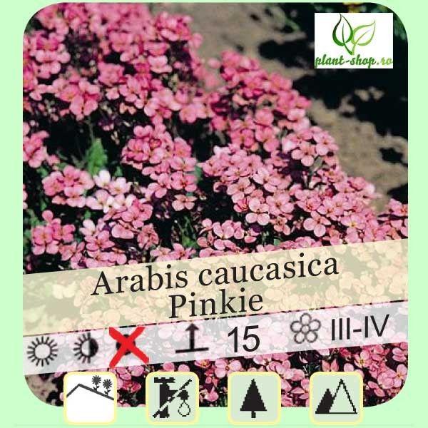 Arabis caucasica Pinkie G-9
