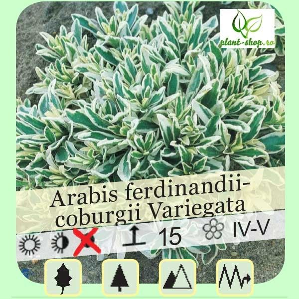 Arabis ferdinandi-coburgii Variegata G-9