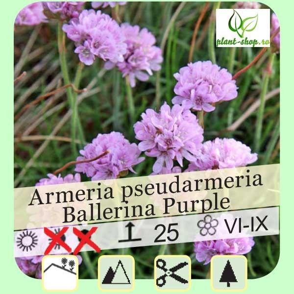 Armeria pseudarmeria Ballerina Purple G-9
