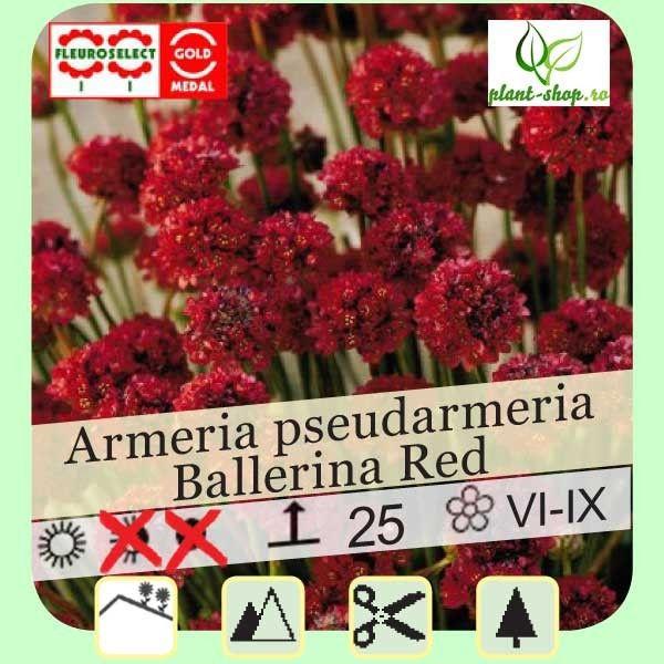 Armeria pseudarmeria Ballerina Red G-9