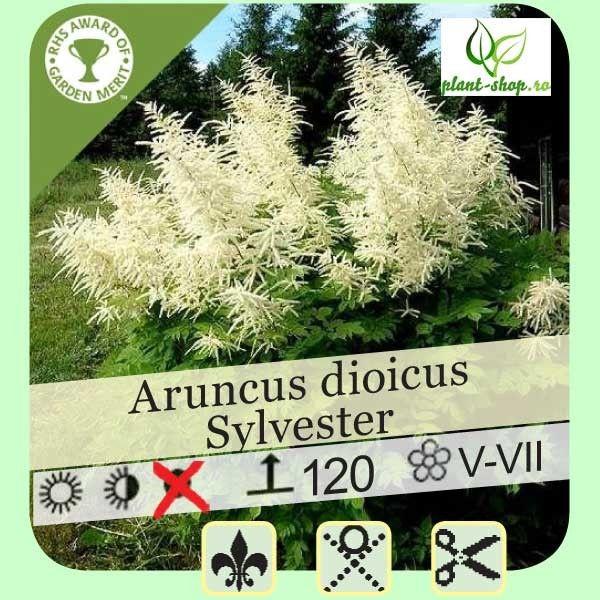 Aruncus dioicus sylvester G-9