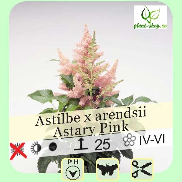 Astilbe arendsii Astary Pink G-9