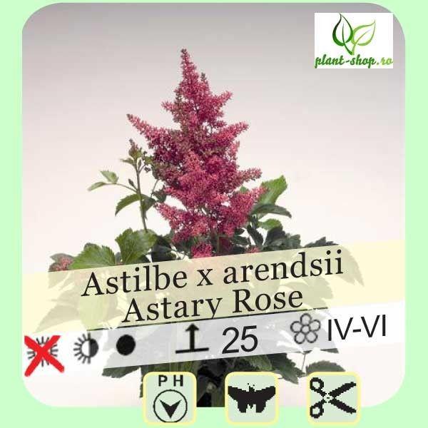 Astilbe arendsii Astary Rose G-9