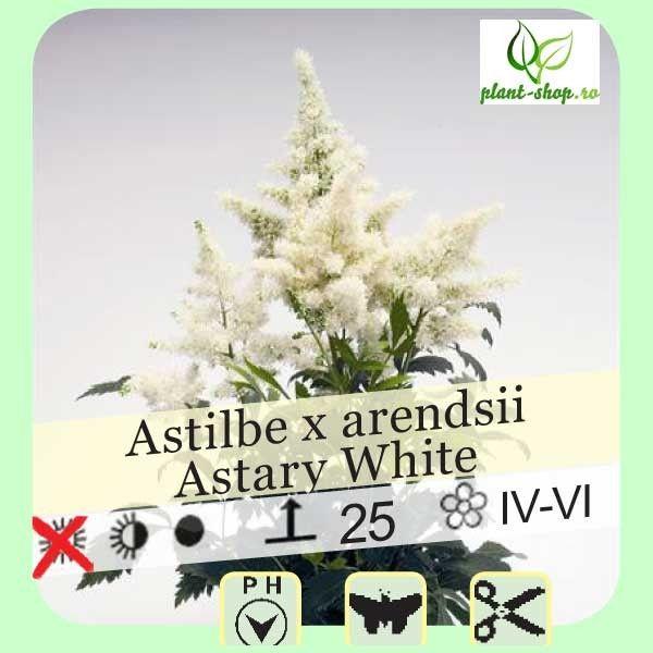 Astilbe arendsii Astary White G-9
