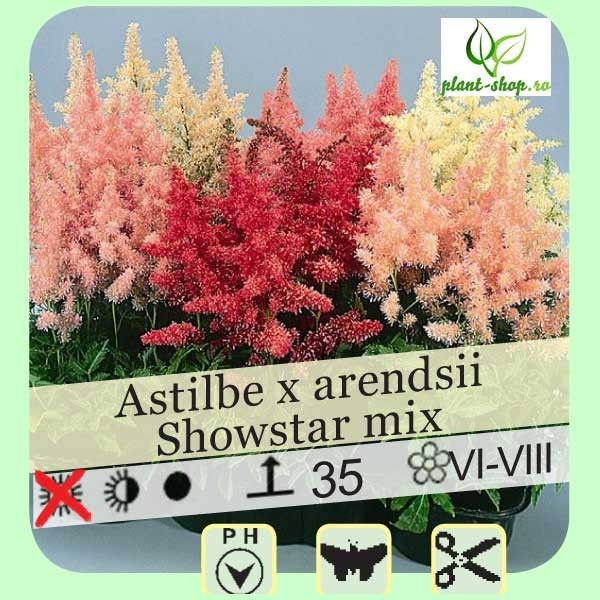 Astilbe arendsii Showstar mix G-9