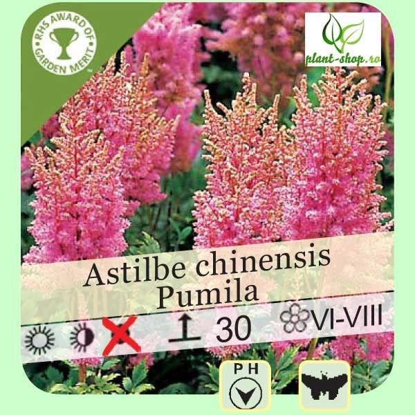 Astilbe chinensis Pumila G-9
