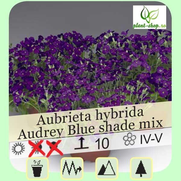 Aubrieta hybrida Audrey F1 Blue Shades G-12