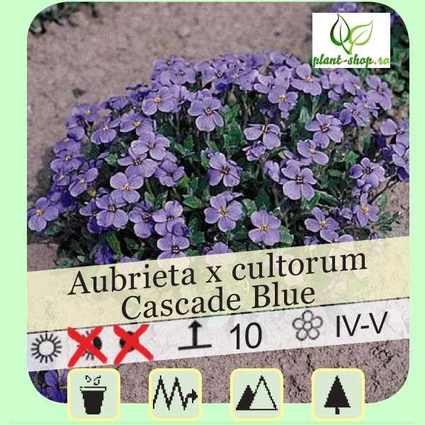 Aubrieta x cultorum Cascade blue G-9