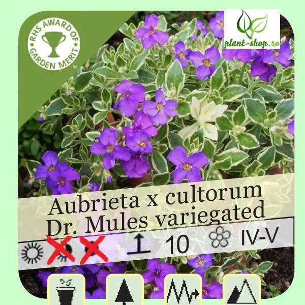 Aubrieta x hybrida  Dr Mules Variegata G-12