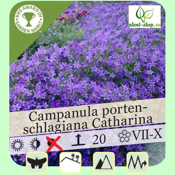Campanula portenschlagiana Catharina G-9