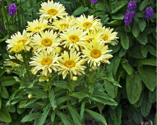 Leucanthemum maximum 'Banana Cream' G-9