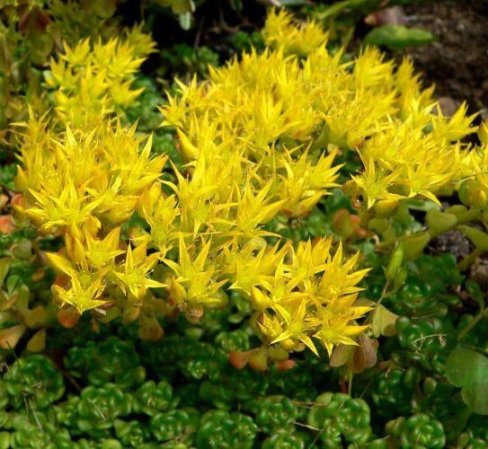 Sedum oreganum Pack 10 plante