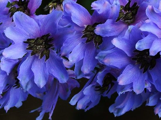 Delphinium x cultorum Pacific Giants Black Knight G-9